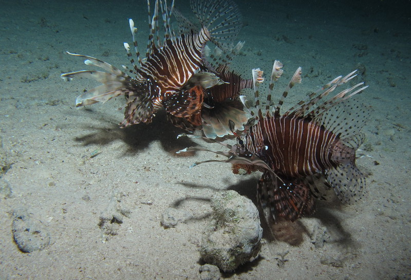 mediterraneo specie aliene specie invasive pesce scorpione pesci velenosi