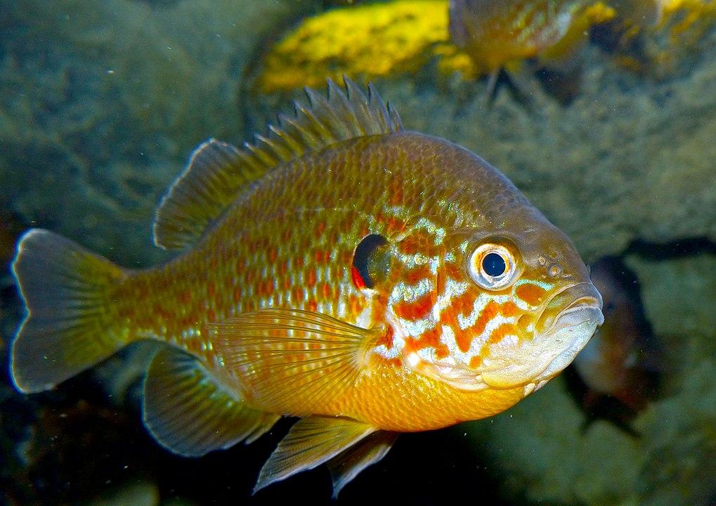 specie aliene specie invasive pesce persico sole predatore fiumi po tevere arno