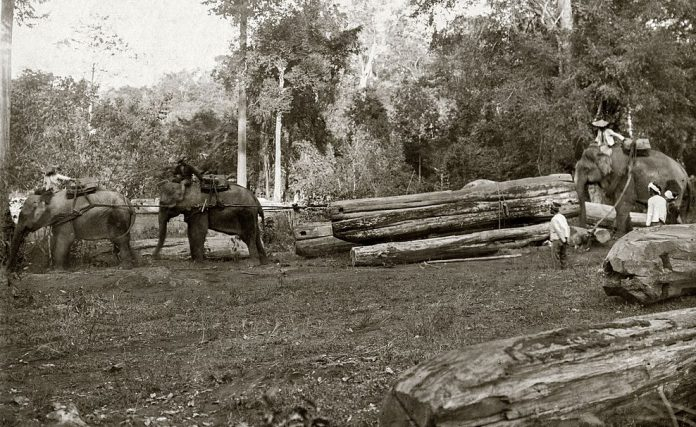 elefante asiatico domesticazione legname lavoro