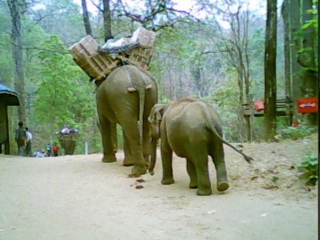 elefante asiatico specie a rischio mortalità domesticazione