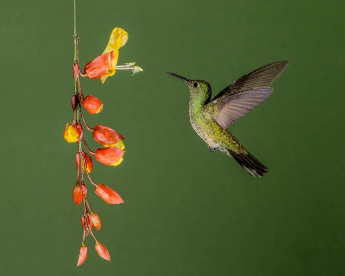 colibrì colori