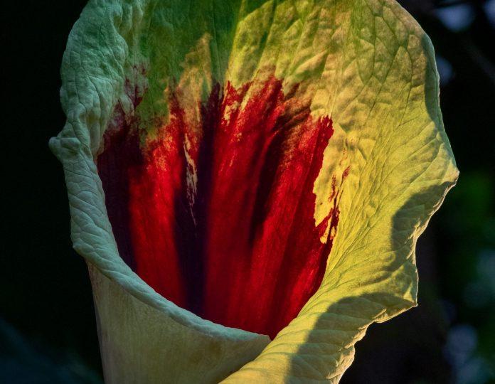 Pseudohydrosme gabunensis fiore tropicale gabon rarissimo cavolo