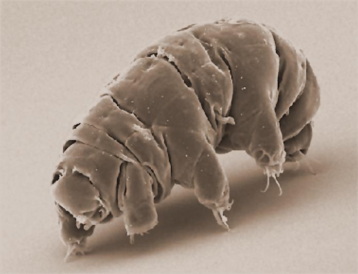 tardigradi fluorescenza UV ultravioletti