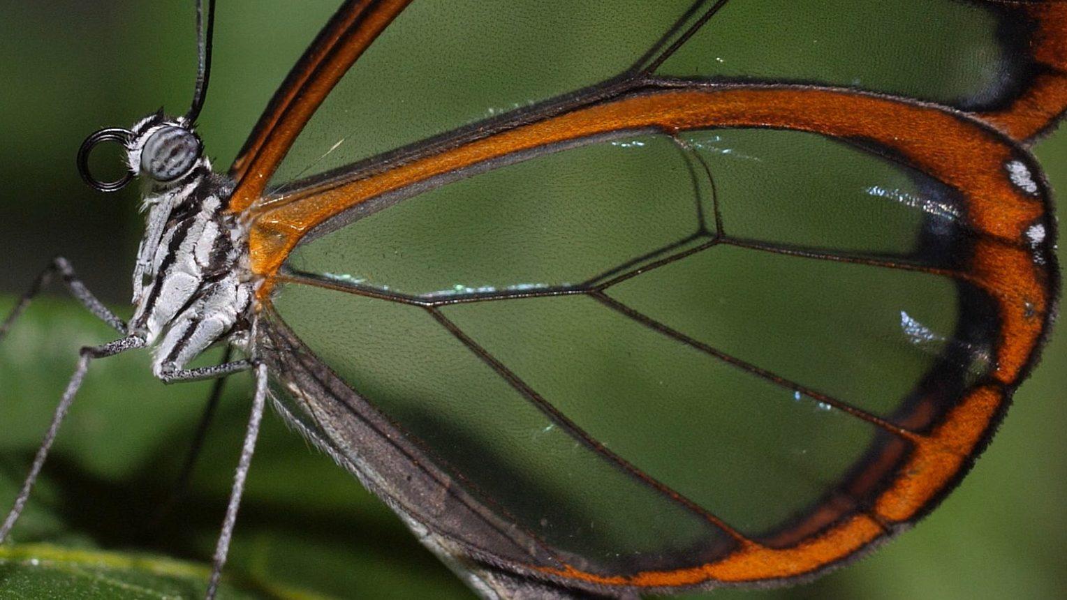 farfalla di vetro
