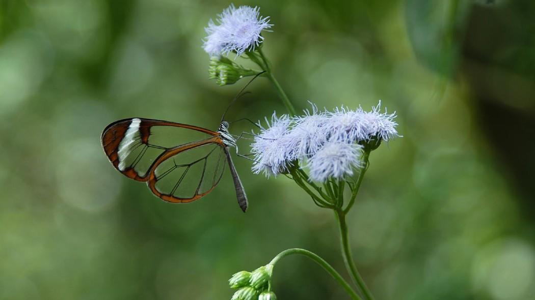 farfalla con ali trasparenti