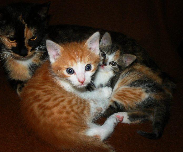 gatti tigrati tabby strisce pelo